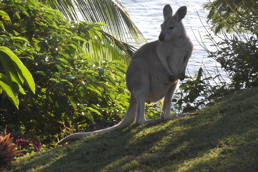 Bush Wallaby, Whitsundays